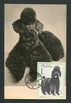 POLEN MK 1963 HUNDE PUDEL POODLE HUND DOG MAXIMUMKARTE MAXIMUM CARD MC CM c9019