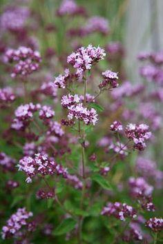 Wild marjoram, drought tolerant - good for the front garden Wild Flowers, Plants, Edible Flowers, Marjoram, British Wild Flowers, Beautiful Flowers, Perennials, Drought Tolerant Plants, Flower Seeds