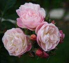 Bouquet Parfait - róża piżmowa Lensa. Ta akurat ma inną ciekawą róże piżmową jako rodzica - Ballerine. Róża zamyka kwiaty na noc.