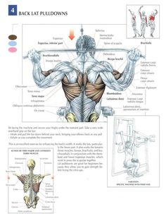 Training Anatomy - Back - Back Lat Pull-Downs Muscle Anatomy, Body Anatomy, Weight Training Workouts, Gym Workout Tips, Street Workout, Fitness Bodybuilding, Natural Bodybuilding, Academia Fitness, Back Exercises
