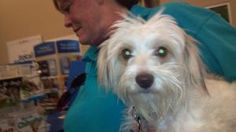 Milo #628 is an adoptable Maltese Dog in Arlington Heights, IL. Milo is a very happy little 1 year old boy. He has beautiful golden eyes and soft wavy hair. He gets along well with the other three dog...