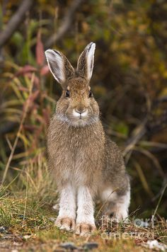 Snowshoe Hare (Lepus americanus) | Photo by Ron Sanford with Pin-It-Button on FineArtAmerica