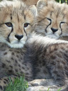 'Harris' & 'Gunna' king cheetah cubs