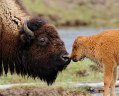 Stop The Needless Slaughter Of Hundreds Of Bison! Bison are icons of the American West. Slaughtered by the millions a century ago, they were driven to the brink of extinction Beautiful Creatures, Animals Beautiful, Baby Bison, Baby Animals, Cute Animals, Baby Hippo, Wild Animals, Baby Buffalo, Water Buffalo
