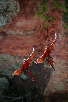 Perfectly Paired Parrots in Flight