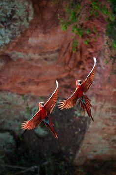 Mating pair in Costa Rica