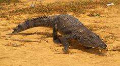 The sacred Nile crocodile (Crocodylus niloticus), Bazoule, Burkina Faso | Flickr - Photo Sharing!