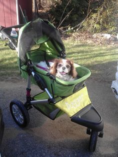 Caille grinning from ear to ear in her new Dogger stroller. I can't help but smile looking at this photo :) #cavalier