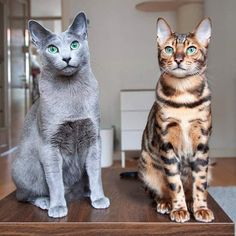 Russian Blue and Bengal cat cats breeds russian blue Pretty Cats, Beautiful Cats, Animals Beautiful, Beautiful Pictures, Funny Animals, Cute Animals, Gato Grande, Image Chat, Gatos Cats