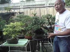 Bonsai Tutorials for Beginners: How to improve Branch Taper Without Hard Cut Backs Part 2 - YouTube