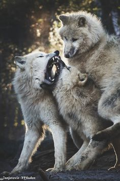 : Beautiful... It sorta looks like the bottom one underneath one of em might be the alpha female protecting the males throat.... :