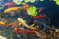 Colorful decorative fish float in an artificial pond, view from above Goldfish Pond, Aerial View, Koi, Art Projects, Colorful, Decor, Decoration, Decorating, Art Designs