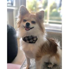 Harlequin dog collar bandana burgundy leather