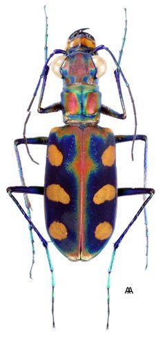 imagenes de tiger beetle - Buscar con Google