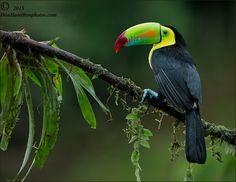 Keel Billed Toucan Forums by Don Hamilton Jr. - Photo 103404527 - 500px