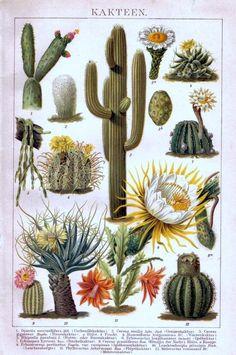 Cactus y Cactaceae desde Botánica Sistemática (fotografías y datos): http://www.homolaicus.com/scienza/erbario/utility/botanica_sistematica/hypertext/0304.htm#003215