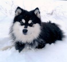 5 Interesting Facts About The Finnish Lapphund You will find the most interesting facts about dogs on my account. Spitz Type Dogs, Eurasian Wolf, Wolf Mates, Best Guard Dogs, Norwegian Elkhound, The Kennel Club, Dog List, Dog Facts, Purebred Dogs