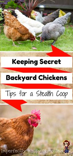 Secret Backyard Chickens - tips for keeping a stealth flock that your neighbors won't hate. For backyard homesteaders, farmers, hoa chicken keepers and urban homesteading.