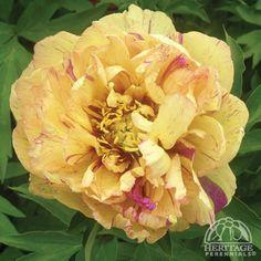 Paeonia 'Lollipop' USDA Zone: 3-9