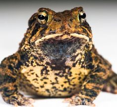 Today is National Endangered Species Day! Learn about the importance of protecting endangered species such as this Houston Toad as well as everyday actions you can take to help protect wildlife on your next Zoo visit! by houstonzoo