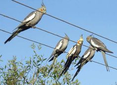Cockatiels in the wild. It'd be weird to see these birds outside your window. Hopefully one day i'll get to travel to austrailia to see these beautiful birds in their natural habitat <3