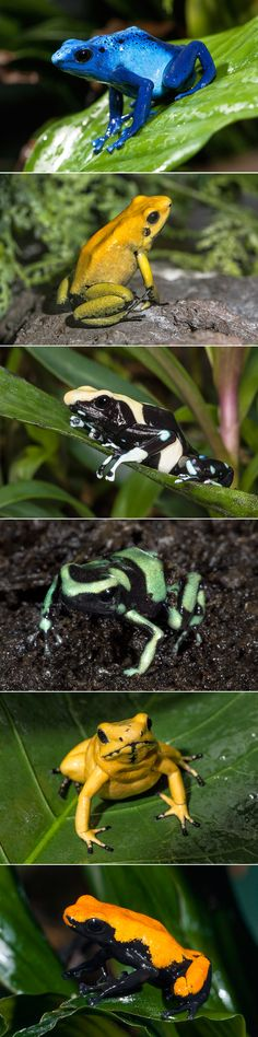 Pretty Poison (from top to bottom): Blue poison frog,  Black-legged poison frog…