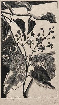Gertrude Hermes - Clematis, 1930, woodcut.