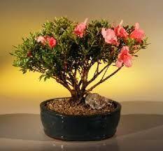 bonsai berry tree - Szukaj w Google