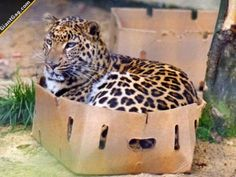 Doesn't Matter What Size Cat, They All Love Boxes