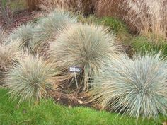 Blue oat grass (Helictotrichon sempervirens), which I need to get to mix with Yucca this year...