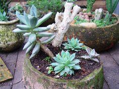 succulent garden jardim de suculenta