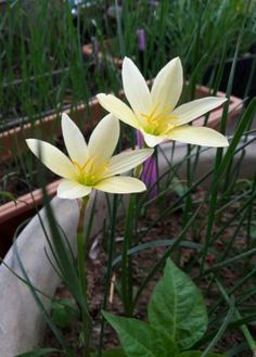 Zephyranthes Summertime Rain Lily mixed sizes 2 bulbs habranthus NEW