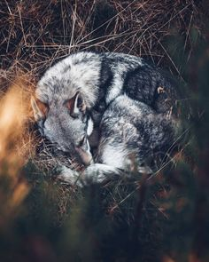 Tired Sitka after the hike!🖤 Happy Sunday ev… The most beautiful look for me . Tired Sitka after the hike! 🖤 Have a nice Sunday! Beautiful Wolves, Beautiful Dogs, Animals Beautiful, Animals And Pets, Funny Animals, Cute Animals, Happy Sunday, Wolf Pictures, Wolf Spirit