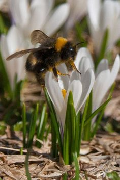 Bee harvesting pollen from a crocus flower Buzzy Bee, I Love Bees, Bees And Wasps, Beautiful Bugs, Bee Art, Save The Bees, Bee Happy, Bees Knees, Fauna