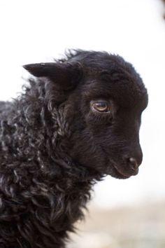 Tägliche Dosis - August 2016 - Baa Baa Black Sheep 2016 © Barbara O & Brien Pho . Farm Animals, Animals And Pets, Funny Animals, Cute Animals, Wild Animals, Black Animals, Mundo Animal, My Animal, Baa Baa Black Sheep