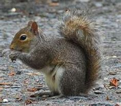 Gray Squirrel - Kentucky State Wild Game Animal...shake your bushy tail (4-H Camp Song)