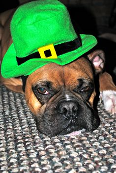 Boxers.  I have a picture with my Eve in a St. Patty's hat.  She looks equally amused!