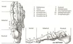 The fibula, also known as the calfbone, is a long bone of the lower leg running parallel to the tibia. http://www.learnbones.com/leg-bones-anatomy/