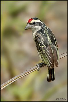 Red-fronted Barbet by E.J. Peiker