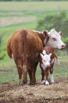 Mother Cow and her Baby Calf on the Farm Farm Animals, Animals And Pets, Cute Animals, Beautiful Creatures, Animals Beautiful, Fluffy Cows, Baby Cows, Cow Art, Cute Cows