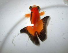 "nice 3"" butterfly tail oranda"