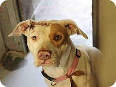 Pit Bull Terrier Mix Dog for adoption in Mesa, Arizona - A3546543 Maricopa County Animal Care & Control East Valley,Mesa AZ