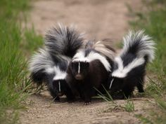 How to Evict a Skunk ... Out From Under Your House for Less Than $5: 4 Steps