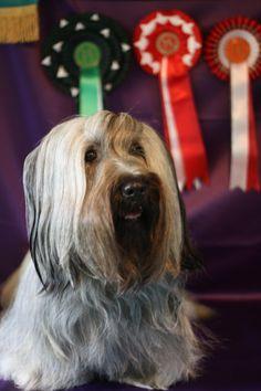 "Skyeluck Dam  C.I.B FIN CH WW-09 DKW-10  LINUM LA GIOCONDA ""Adalia"" after winning BOS at Skye Terrier Specialty, judge Gail Marshal UK."