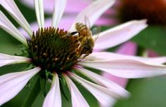 tillys nest bee on echinacea