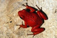Dart Frog, Oophaga Pumilio (Cayo Nancy)