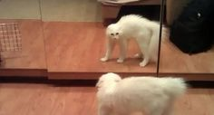 Eläimet kinastelevat peilikuviensa kanssa ! http://tuhoatylsyys.com/elaimet-kinastelevat-peilikuviensa-kanssa/