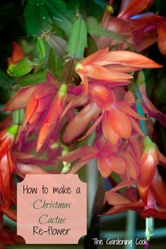 How to get a Christmas Cactus to flower each year. It is easier than you might think.   See my tips http://thegardeningcook.com/christmas-cactus/