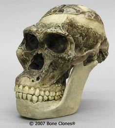 Australopithecus africanus - 3,5-2,5 millones de años de antigüedad. Sudráfrica. Raymond Dart (1925).