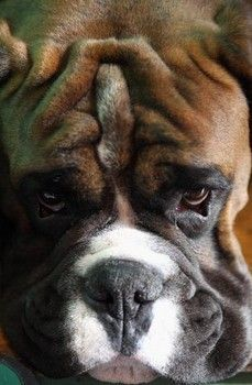 #Boxer dogs are handsome squishy faces rock